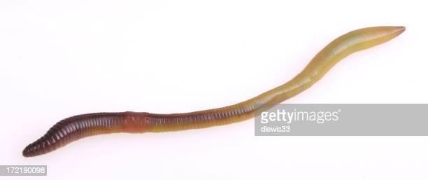 Eine einsame Wurm