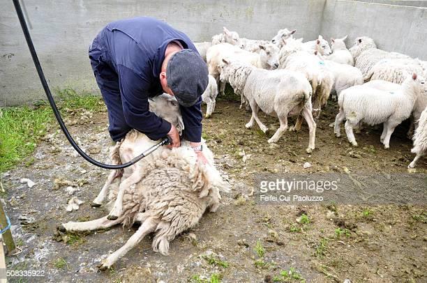 One man doing Sheep shearing at Walls of Shetland Islands