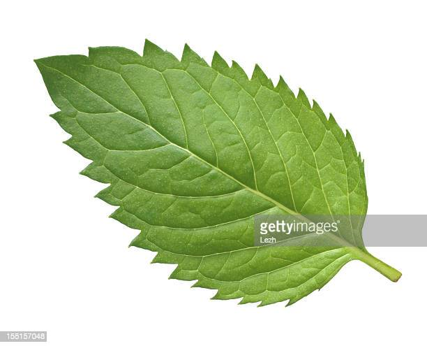 One mint leaf on a white background