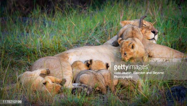 one mischievous lion cub while others nurse at masai mara, kenya - naughty nurse images stock photos and pictures