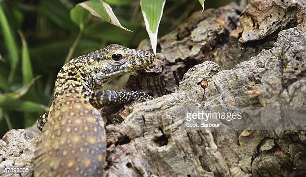 A one month old baby Komodo Dragon sits on a tree branch at London Zoo on April 21 2006 in London England The Komodo dragon is one of four that...