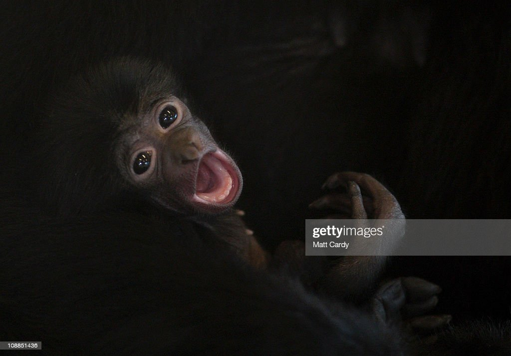 A New Arrival Boosts Endangered Gibbons At Noahs Ark Zoo : News Photo