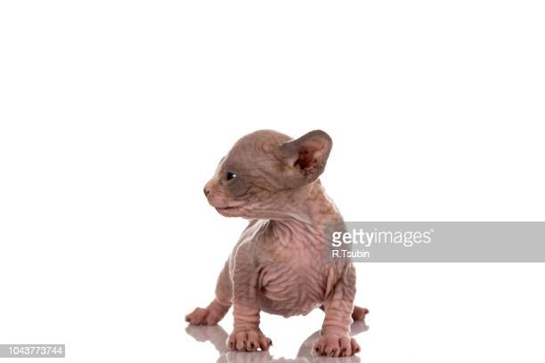 one month old canadian sphynx kitten cat on white background - parte do corpo animal - fotografias e filmes do acervo