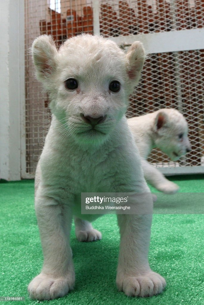 A one month old lioness plays at Himeji Central Park on July 9, 2013 in Himeji, Japan. Seven white lioness cubs birth by three female South African loins June 6th, 26th and 30th, those seven white lion start to shown to the public end of this week.