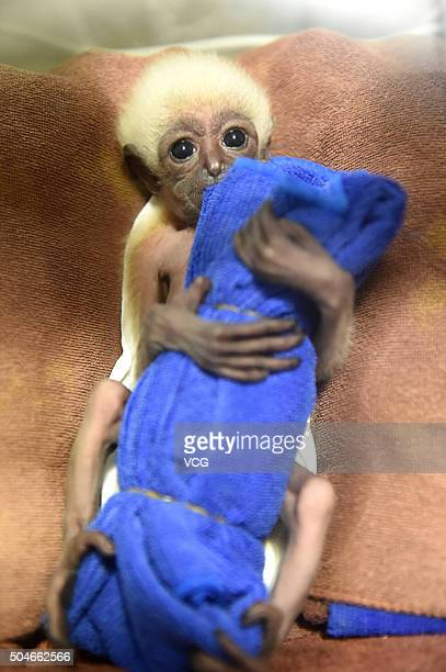 A one month old small gibbon hugs a cloth toy at Nanjing Hongshan Forest Zoo on January 12 2016 in Nanjing Jiangsu Province of China It's said the...