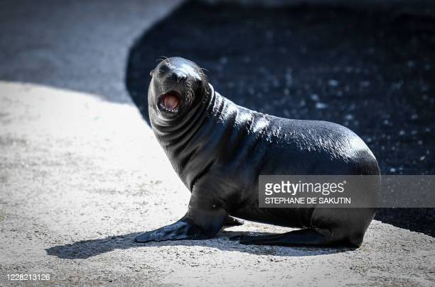One monthold baby sea lion Naya is seen on August 26 2020 at Paris' zoological gardens also known as the Zoo de Vincennes