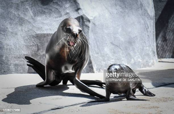 One monthold baby sea lion Naya is seen with its mother Nora on August 26 2020 at Paris' zoological gardens also known as the Zoo de Vincennes