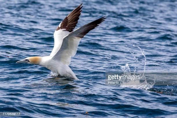 een noordelijke gannet landing op de st. lawrence in de buurt van ghost island, aan de kust van quebec, die honderd kilometer verwijderd is van de gebruikelijke habitat in gaspesie. - northern gannet stockfoto's en -beelden