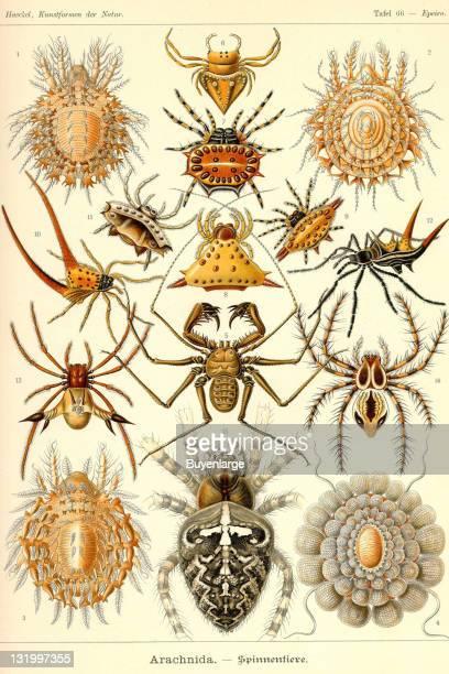 One of 100 illustrated plates from German biologist and artist Ernst Haeckel's book 'Kunstformen der Natur' 1904 The illustrations were reprinted...