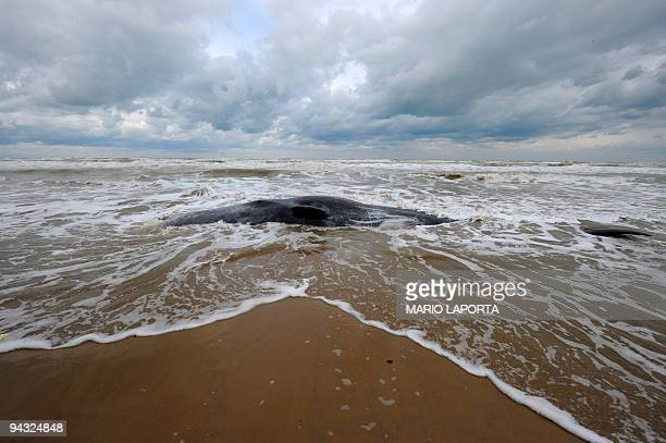 One of 2 beached whales is hit by waves on the Foce Varano beach near Foggia in southern Italy on December 12 2009 Nine whales beached themselves...