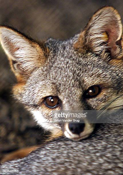 One of a breeding pair of Channel Island foxes peers out of a new LA Zoo fox exhibit Thursday morning August 15 2002 The zoo introduced three species...