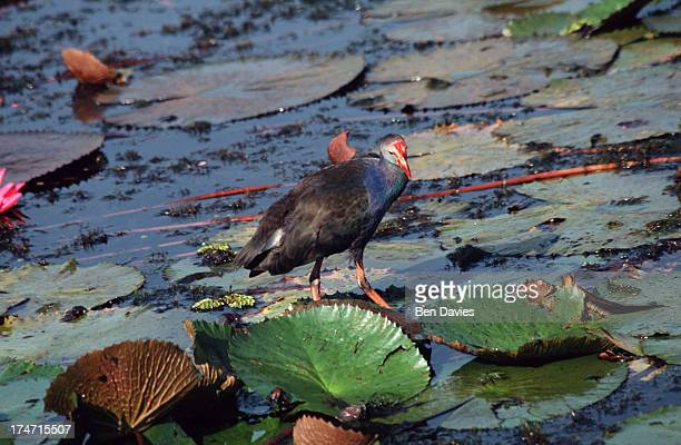 NOI PHATTHALUNG PHATTALUNG THAILAND One of a hundred and fifty different types of waterbird found in the beautiful Thale Noi WaterBird Park in...