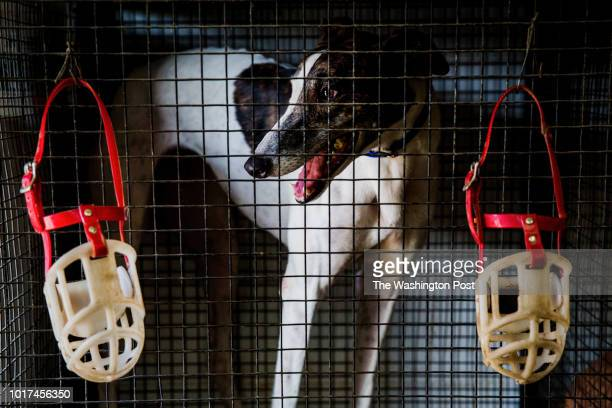 One of AJ Grant's greyhounds peers out the open door at Grant's kennel in Longwood FL on Thursday July 26 2018