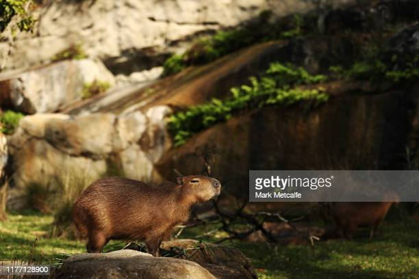 One of five new capybaras is seen exploring the new exhibit at Taronga Zoo on September 26 2019 in Sydney Australia The capybara is native to South...