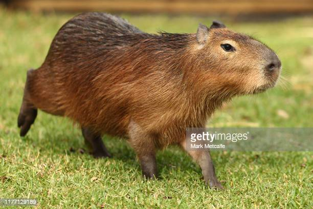 One of five new capybaras is seen exploring the new exhibit at Taronga Zoo on September 26, 2019 in Sydney, Australia. The capybara is native to...
