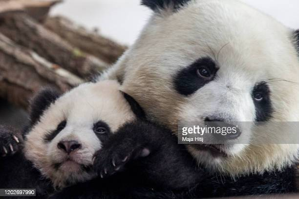 One of five-month-old twin panda cubs Meng Yuan , male, is seen next to his mom Meng Meng during a media opportunity at Zoo Berlin on January 29,...
