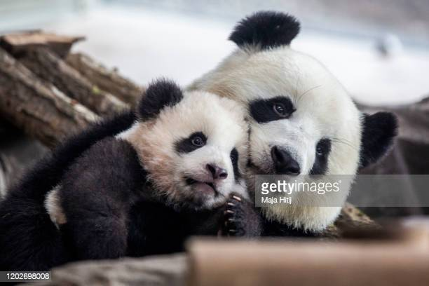one of fivemonthold twin panda cubs Meng Yuan male is seen next to his mom Meng Meng during a media opportunity at Zoo Berlin on January 29 2020 in...