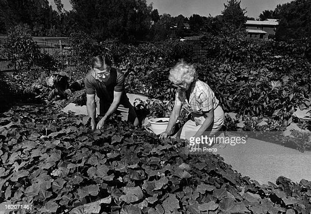 8/31/87 SEP 2 1987 One of four National Finalists for Victory Garden contest shot of Mr Harold most and his wife Bert picking some cucumbers from...