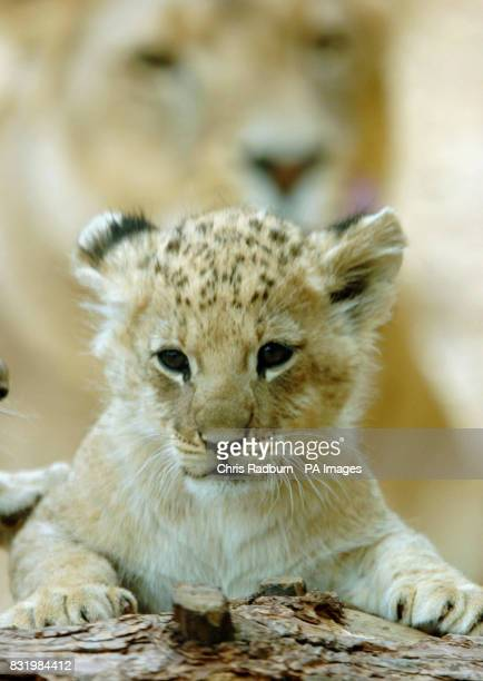 One of four newly born lion cubs plays under the watchful eyes of its mother at Whipsnade Wild Animal Park Bedfordshire
