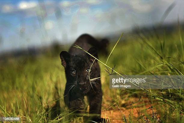 One of four rare Black Leopard cubs born on October 15 2010 is pictured at the Lion Park January 14 2011 in Johannesburg South Africa The cubs born...
