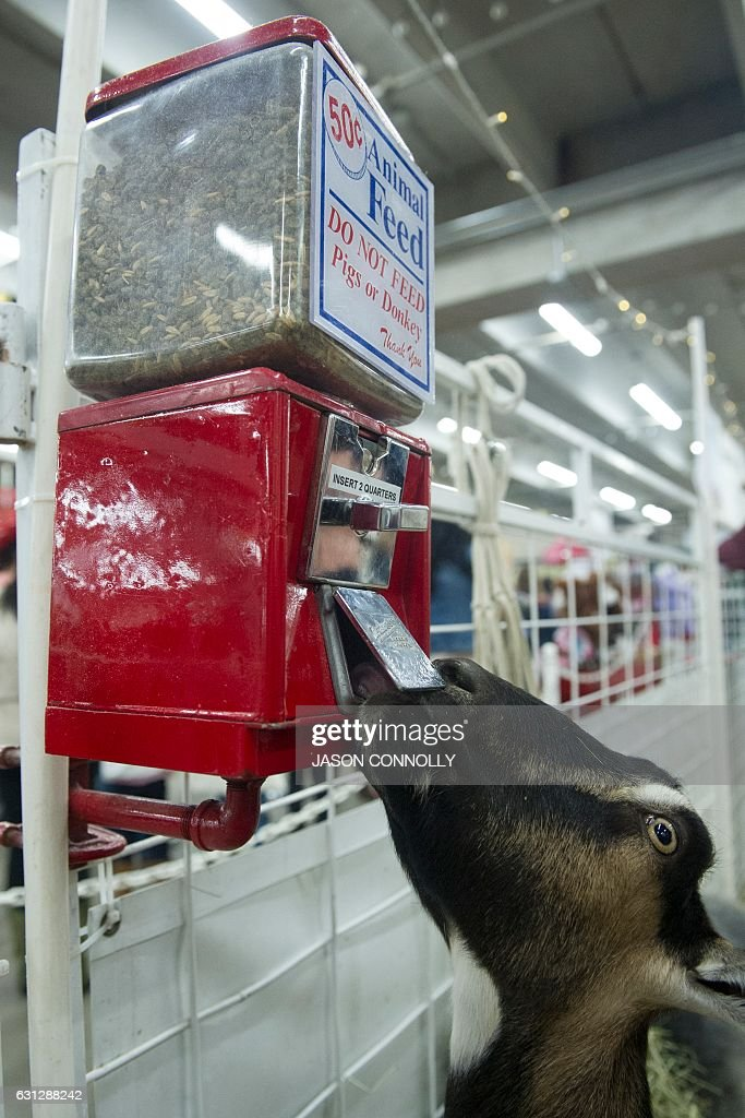 One of many goats on display at the Petting Zoo at the 2017 National Western Stock Show in Denver, Colorado, finds a free meal of pellets on January 8, 2017. Established in 1911, the National Western Stock Show is the premier livestock, rodeo, and horse show in the United States. / AFP / Jason Connolly