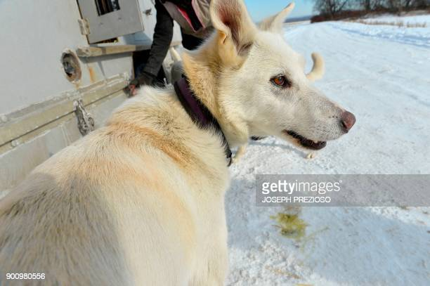 One of Musher Marla Brodsky's dogs awaits his harness at a farm field in Northampton Massachusetts where he and the rest of the team will practice...