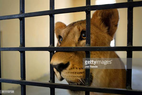 Uday Hussein's Lions Moved To Baghdad Zoo Photos and ...