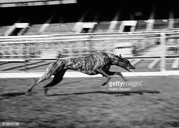 One of Nora Collins' dogs Endless Gossip comes home with a track record of 2847 seconds in the White City Stadium's 525 yard greyhound lap race