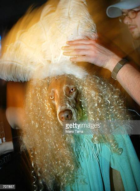 One of photographer William Wegmans Weimaraner dogs is prepared with a feathered headdress and wig during Wegmans promotional photo shoot for the...