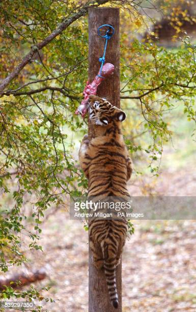 One of Sasha's three six month old Amur tiger cubs climbs a tree at feeding time at the Highland Wildlife Park in Kingussie