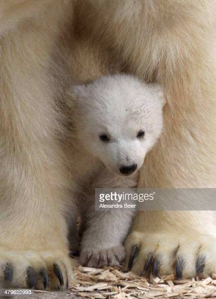 One of the 14 weekold twin polar bear babies is pictured with her mother Giovanna during their first presentation to the media in Hellabrunn zoo on...
