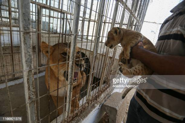 One of the 3 newborn cubs is seen near the mother lion at a zoo in Rafah Gaza on September 08 2019 Lion cubs born in August at a zoo of Gaza Strip...