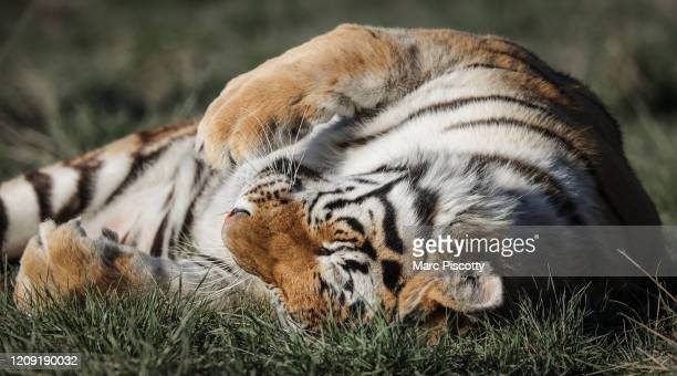 One of the 39 tigers rescued in 2017 from Joe Exotic's GW Exotic Animal Park plays at the Wild Animal Sanctuary on April 5 2020 in Keenesburg...