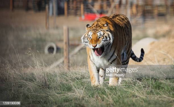 One of the 39 tigers rescued in 2017 from Joe Exotic's GW Exotic Animal Park walks around its enclosure at the Wild Animal Sanctuary on April 5 2020...