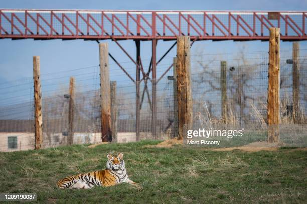 One of the 39 tigers rescued in 2017 from Joe Exotic's GW Exotic Animal Park relaxes at the Wild Animal Sanctuary on April 5 2020 in Keenesburg...