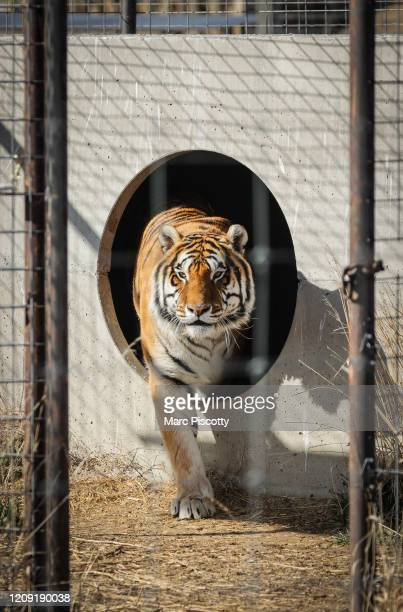 One of the 39 tigers rescued in 2017 from Joe Exotic's GW Exotic Animal Park exits its den at the Wild Animal Sanctuary on April 5 2020 in Keenesburg...