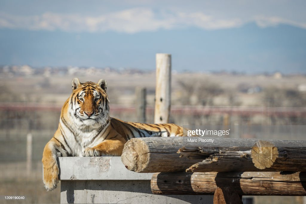 """Wild Animal Sanctuary In Colorado Home To Almost 40 Tigers From Wildly Popular Documentary Of Joe Exotic """"Tiger King"""" : News Photo"""