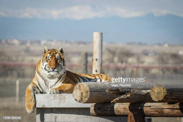 One of the 39 tigers rescued in 2017 from Joe Exotic's GW Exotic Animal Park relaxes in its enclosure at the Wild Animal Sanctuary on April 5 2020 in...