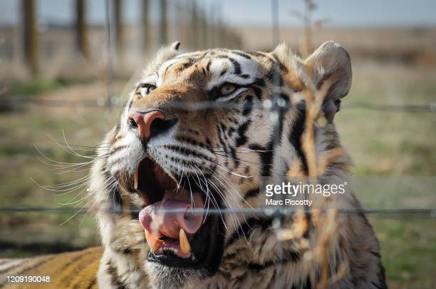 One of the 39 tigers rescued in 2017 from Joe Exotic's GW Exotic Animal Park yawns at the Wild Animal Sanctuary on April 5 2020 in Keenesburg...
