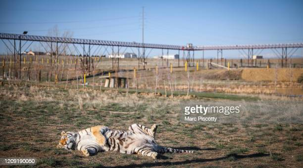 One of the 39 tigers rescued in 2017 from Joe Exotic's GW Exotic Animal Park suns itself at the Wild Animal Sanctuary on April 5 2020 in Keenesburg...
