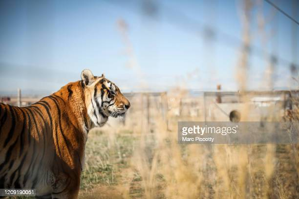 One of the 39 tigers rescued in 2017 from Joe Exotic's GW Exotic Animal Park watches volunteers at the Wild Animal Sanctuary on April 5 2020 in...