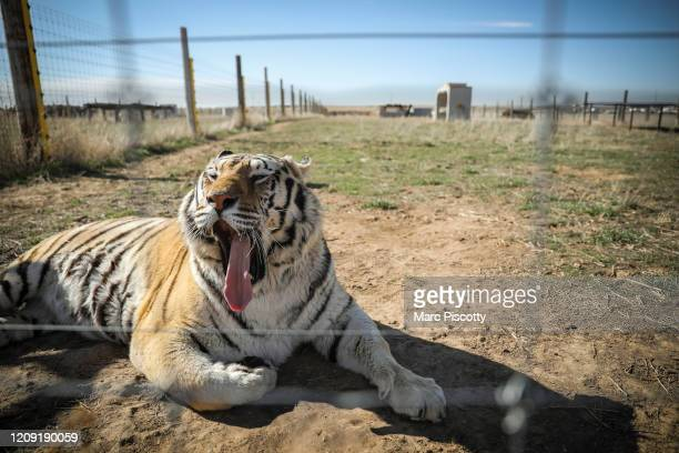 One of the 39 tigers rescued in 2017 from Joe Exotic's GW Exotic Animal Park yawns while relaxing at the Wild Animal Sanctuary on April 5 2020 in...