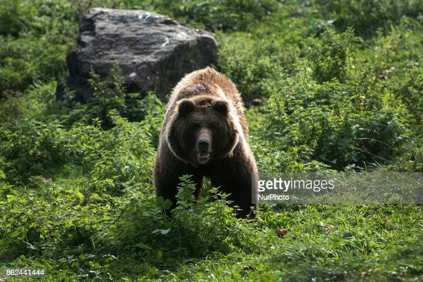 One of the brown bears that inhabits the Karpin Abentura wildlife center in of Carranza in Vizcaya Spain on 17 October 2017 Karpin Abentura is a...
