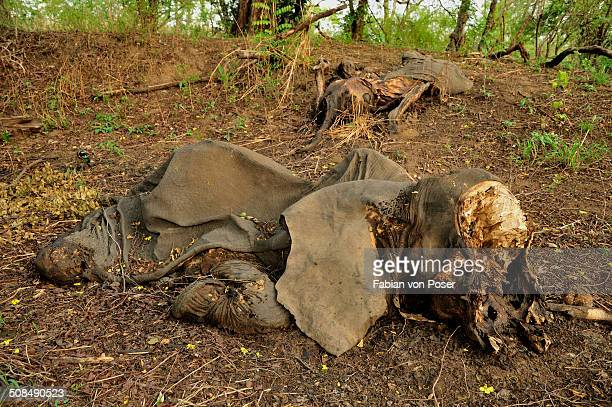 one of the elephants killed by sudanese poachers on 5 march 2012, bouba-ndjida national park, cameroon, central africa, africa - death of a rotten fotografías e imágenes de stock