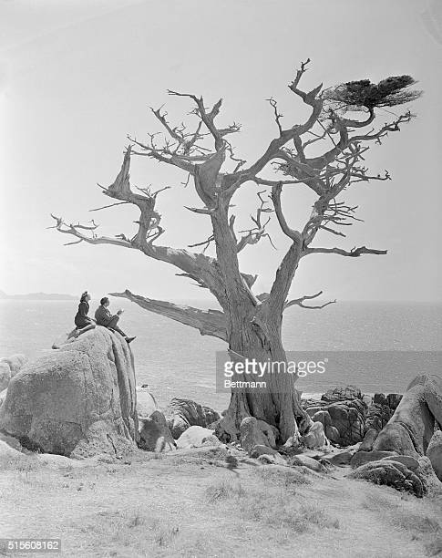 One of the famous Monterey Cypress trees at Del Monte California is probably more of a surrealistic object than any ever drawn by noted artist...