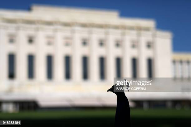 One of the famous peacocks of the United Nations Offices in Geneva is seen in silhouette on April 19 2018 The peacocks are living in the 46hectare...