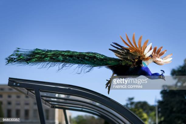 One of the famous peacocks of the United Nations Offices in Geneva flies down from a bicycle shed on April 19 2018 The peacocks are living in the...