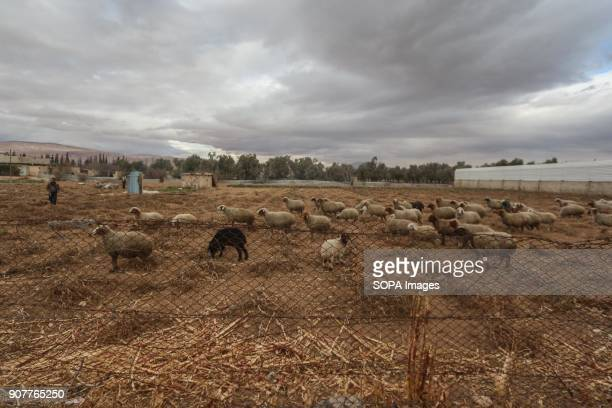 One of the farmers is looking after his sheep in a field as the sheep food increased a lot since the conflict started Despite the ongoing conflict in...