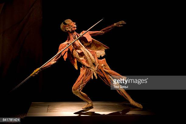 One of the figures on display at the Body Worlds 3 exhibit at the California Science Center in Los Angeles Body Worlds was started by Dr Gunther von...