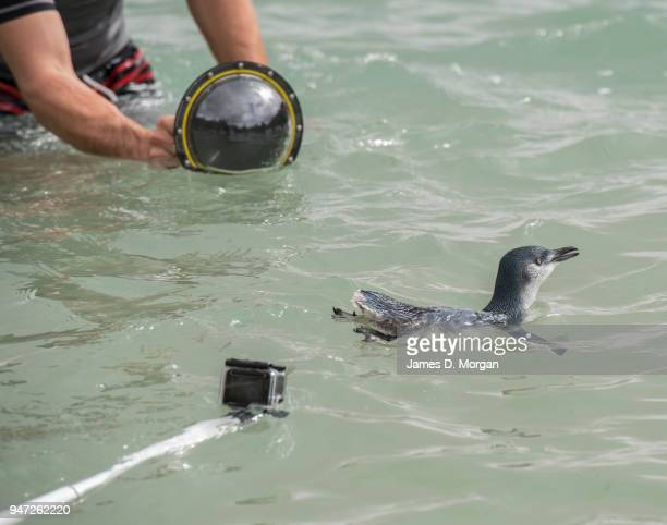 One of the five Little Penguins after being released back into the water at Shelly Beach being filmed by members of the media on April 17 2018 in...